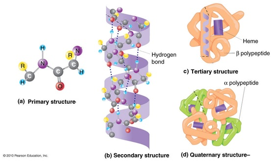 collagen tertiary structure